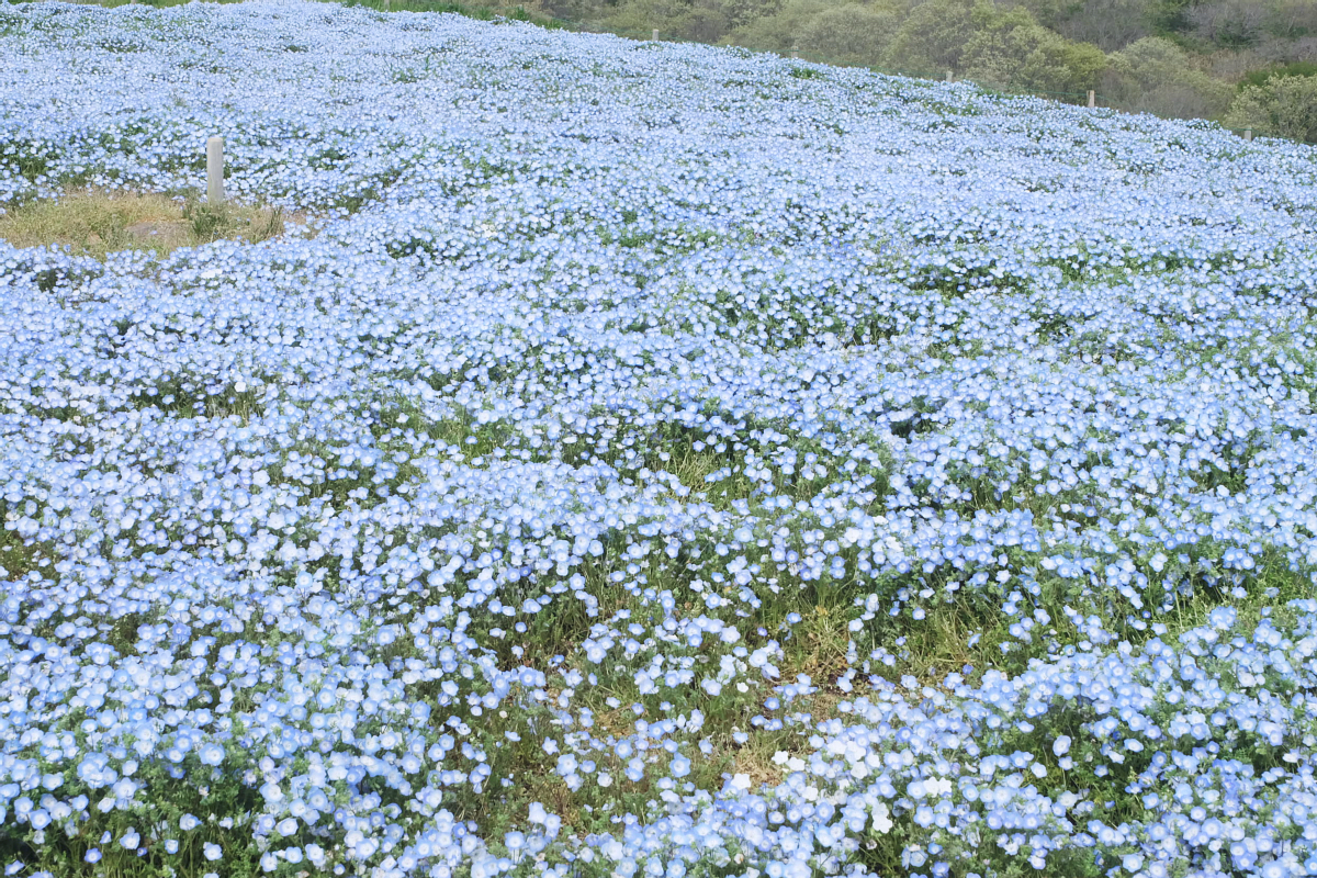 Nemophila Hitachi Seaside Park Rainbowholic Japan Kawaii 61