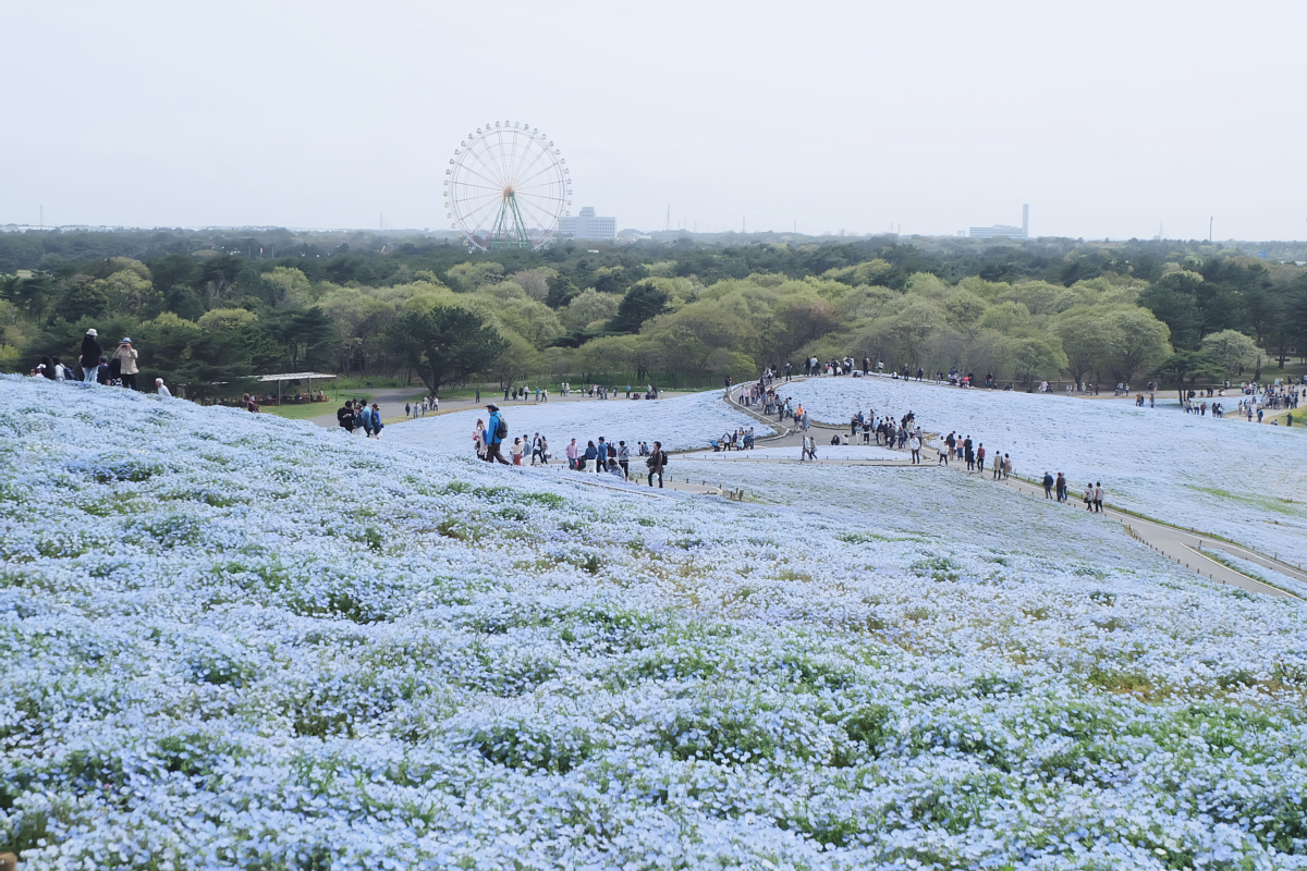 Nemophila Hitachi Seaside Park Rainbowholic Japan Kawaii 63