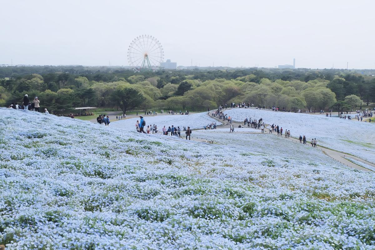Nemophila Hitachi Seaside Park Rainbowholic Japan Kawaii 63