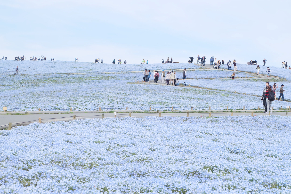 Nemophila Hitachi Seaside Park Rainbowholic Japan Kawaii 65