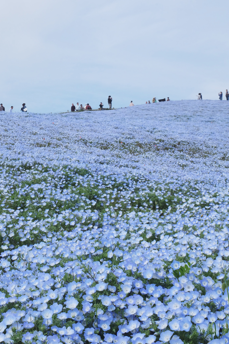 Nemophila Hitachi Seaside Park Rainbowholic Japan Kawaii 66