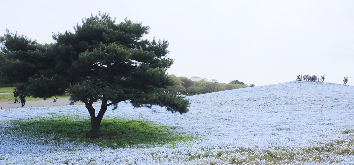 Nemophila Hitachi Seaside Park Rainbowholic Japan Kawaii 67