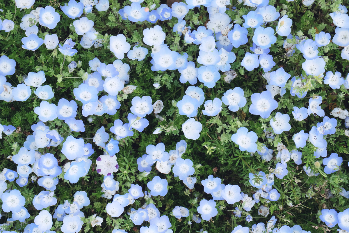 Nemophila Hitachi Seaside Park Rainbowholic Japan Kawaii 76