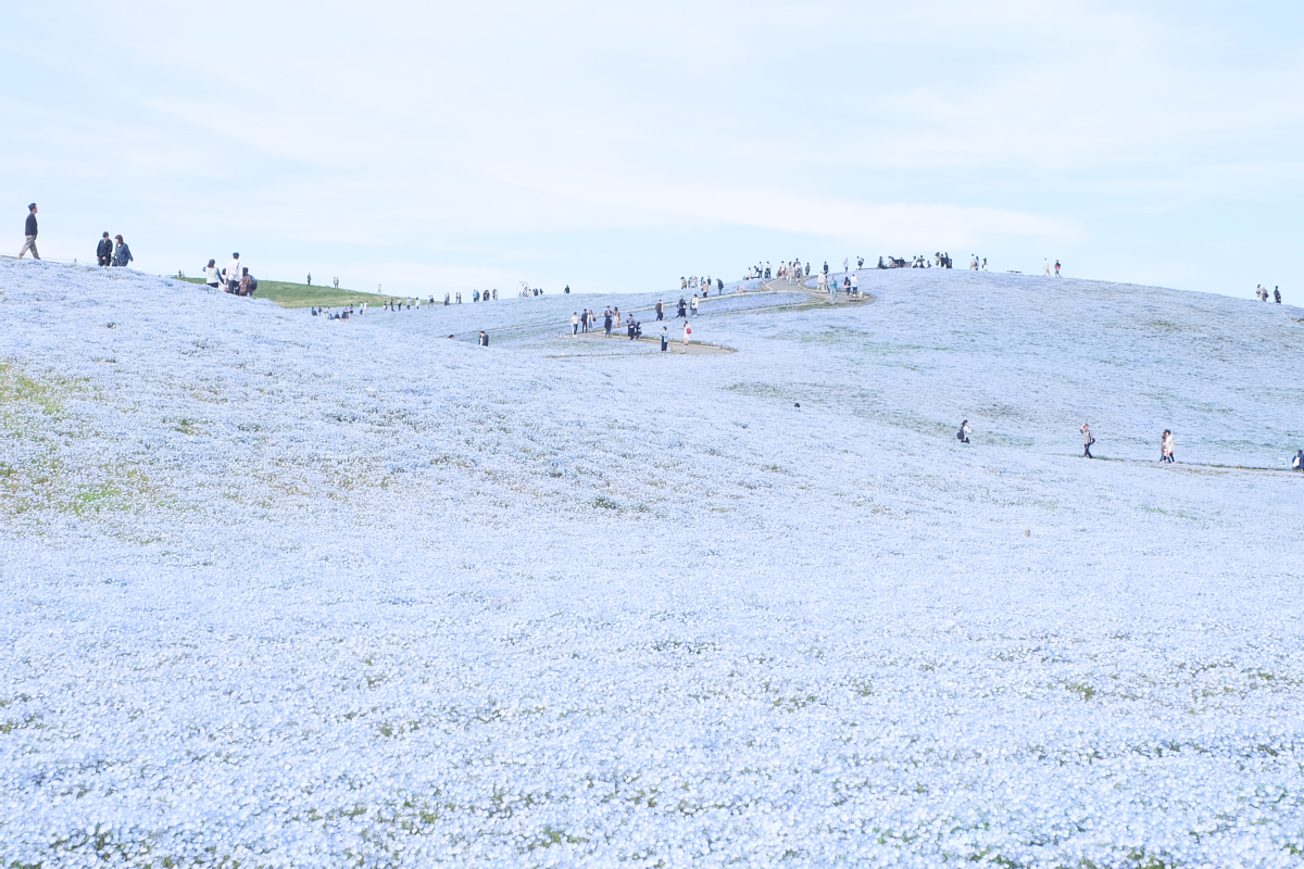 Nemophila Hitachi Seaside Park Rainbowholic Japan Kawaii 81