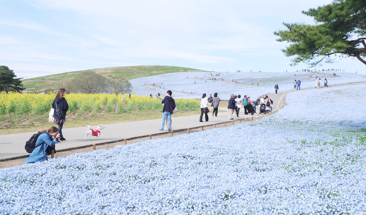Nemophila Hitachi Seaside Park Rainbowholic Japan Kawaii 82