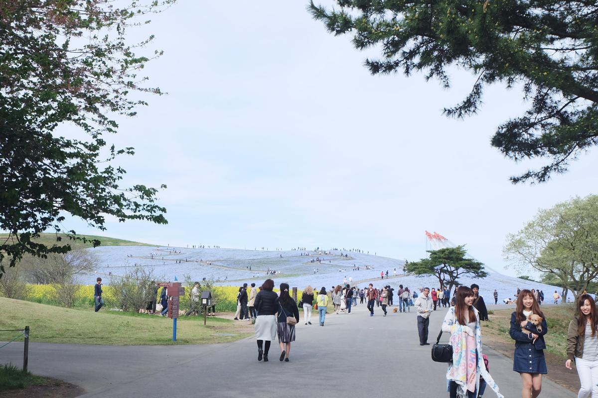 Nemophila Hitachi Seaside Park Rainbowholic Japan Kawaii 83