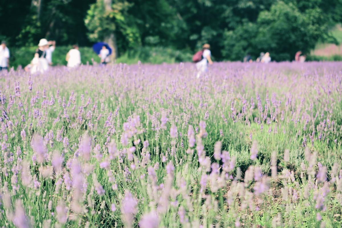 IMG_0881Tambara Lavender Park 2