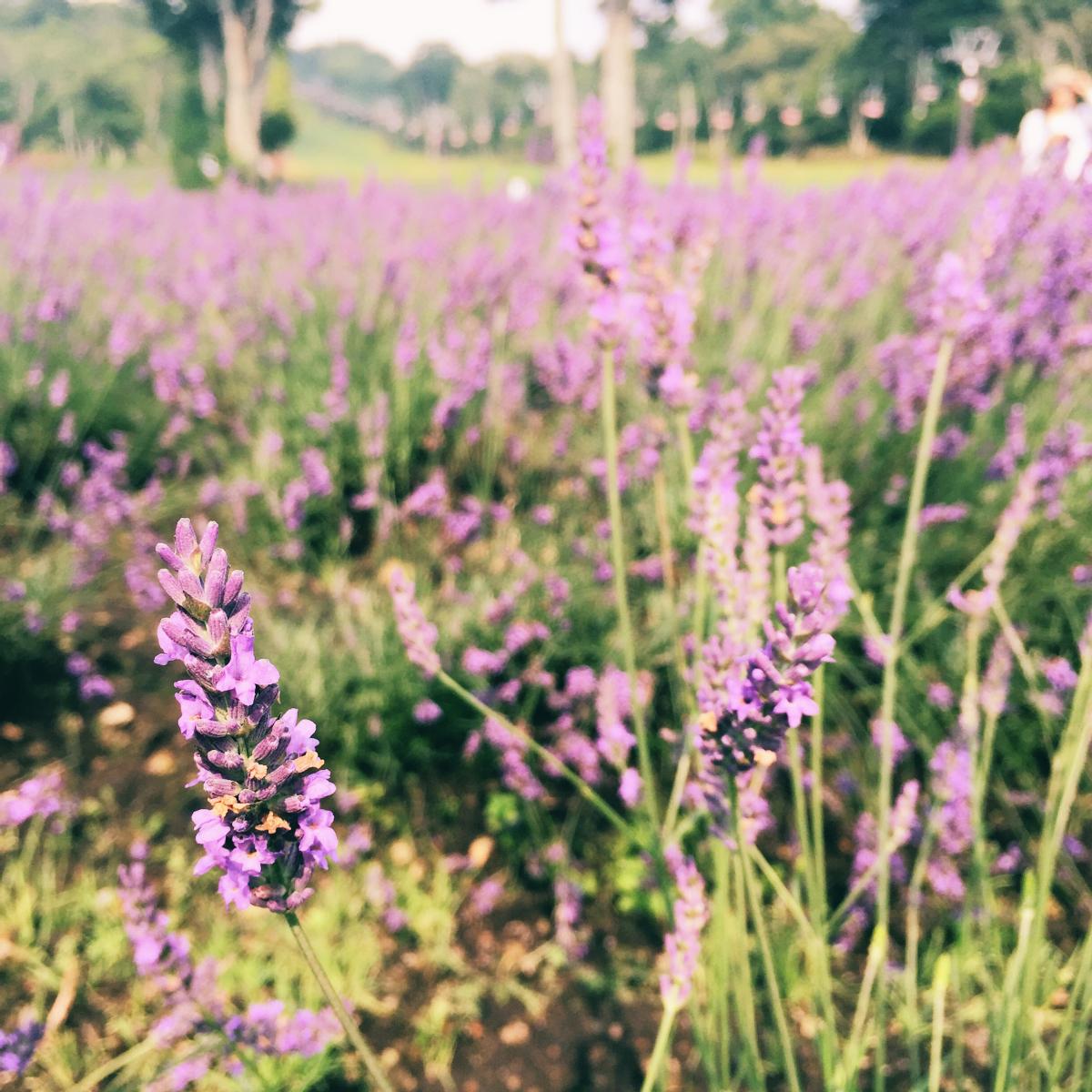 IMG_7444 Tambara Lavender Park Kawaii