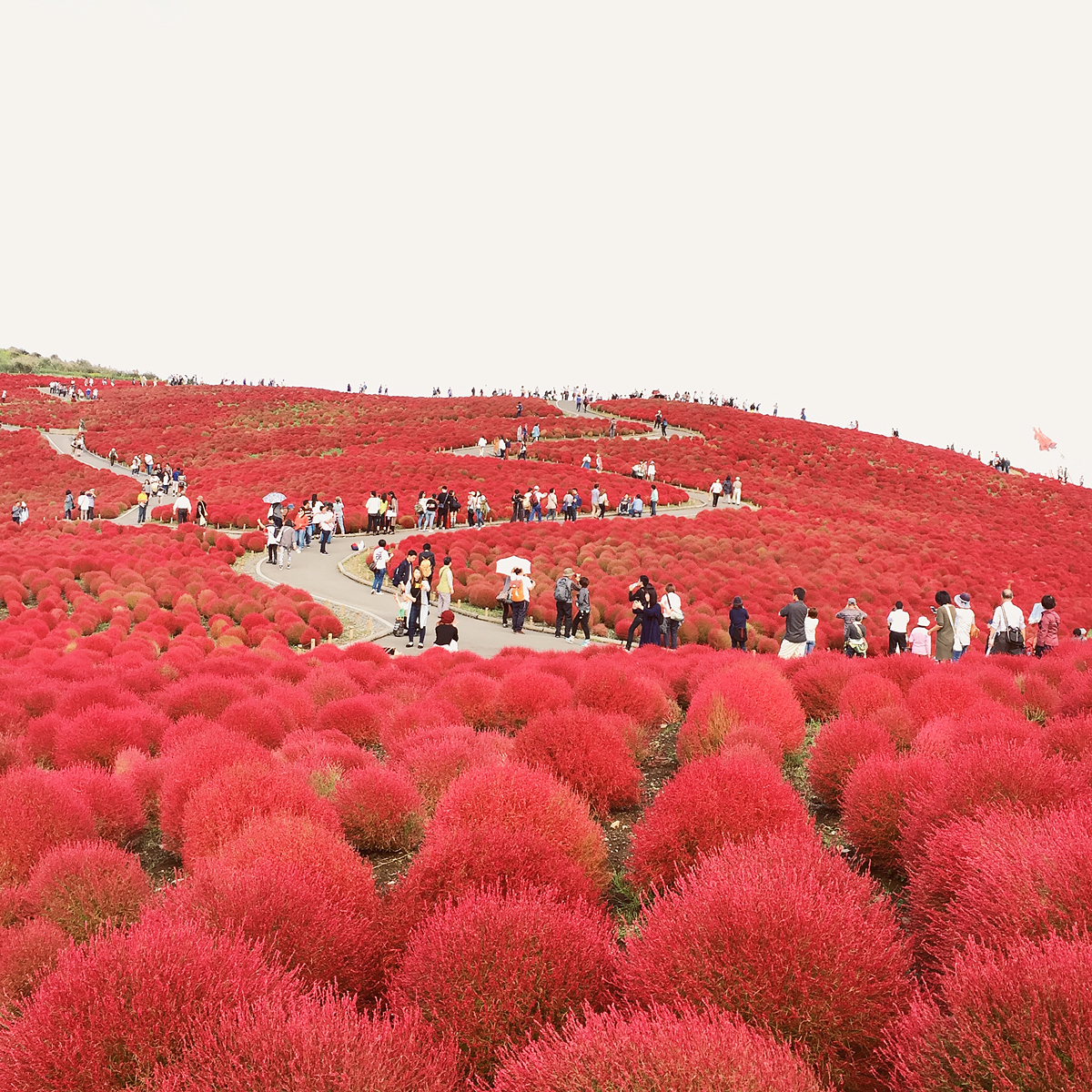 kochia-hitachi-seaside-park-autumn-japan-travel-ibaraki-107