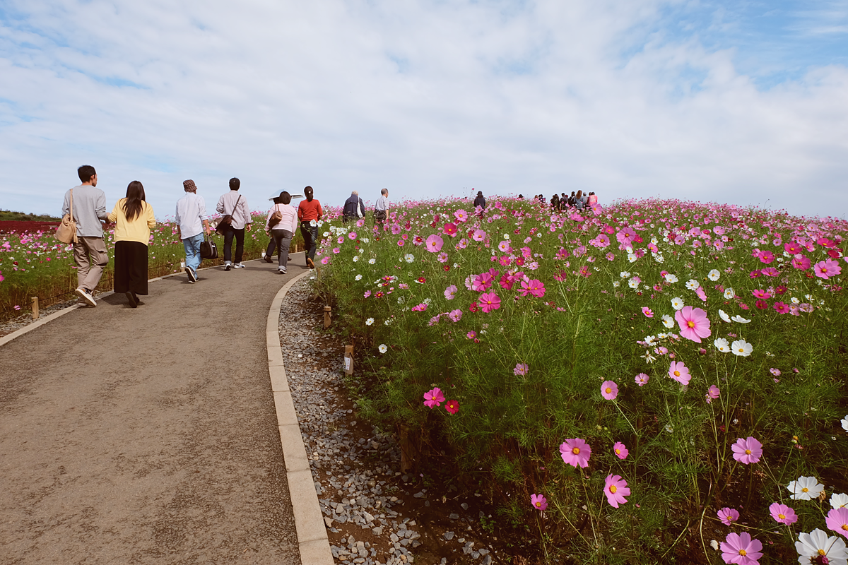 kochia-hitachi-seaside-park-autumn-japan-travel-ibaraki-22
