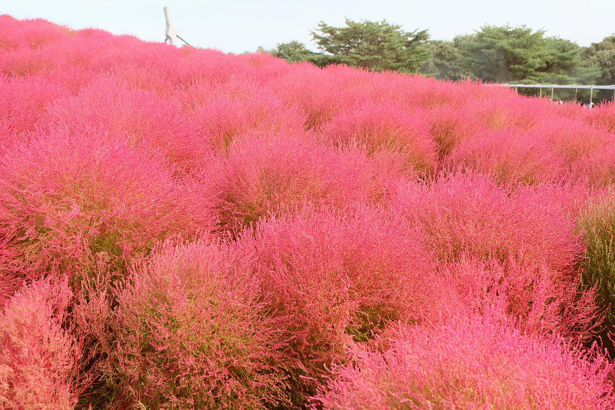 kochia-hitachi-seaside-park-autumn-japan-travel-ibaraki-25