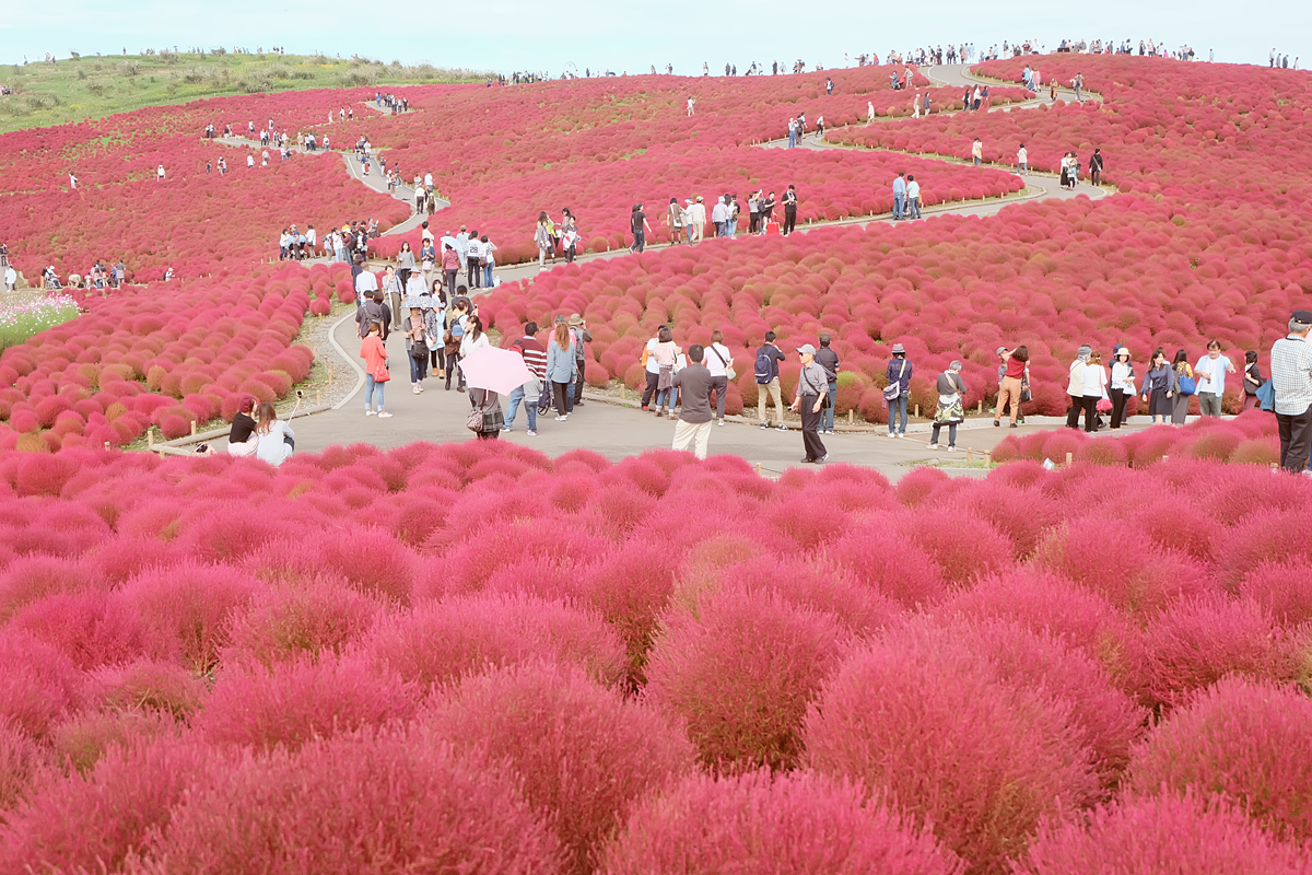 kochia-hitachi-seaside-park-autumn-japan-travel-ibaraki-29