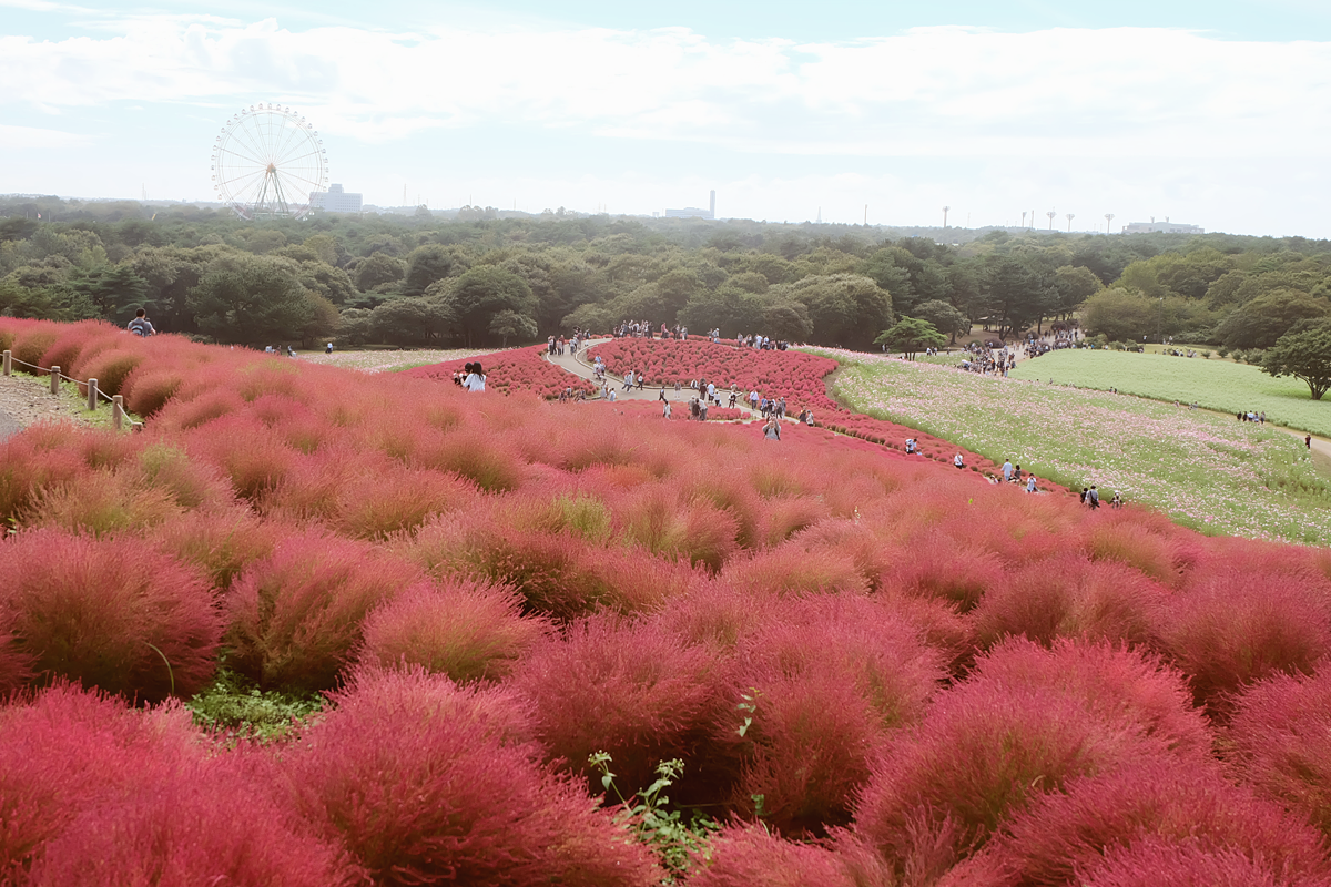 kochia-hitachi-seaside-park-autumn-japan-travel-ibaraki-33
