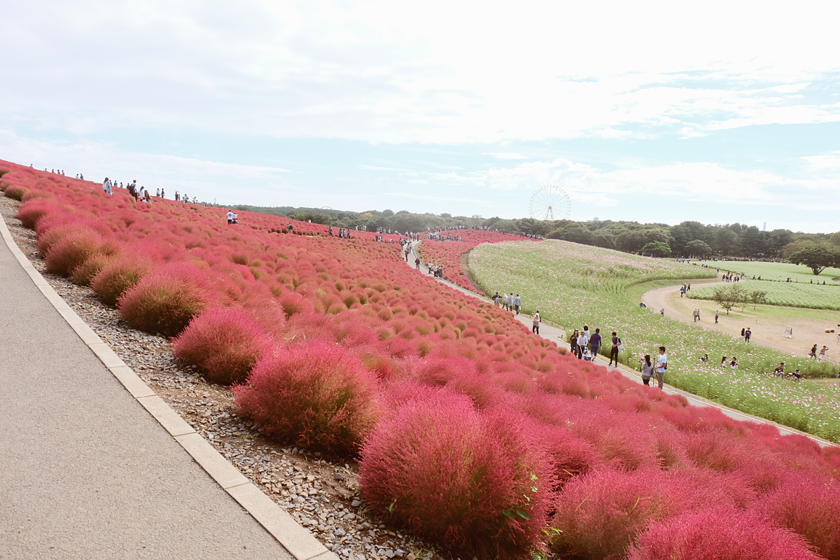 kochia-hitachi-seaside-park-autumn-japan-travel-ibaraki-35