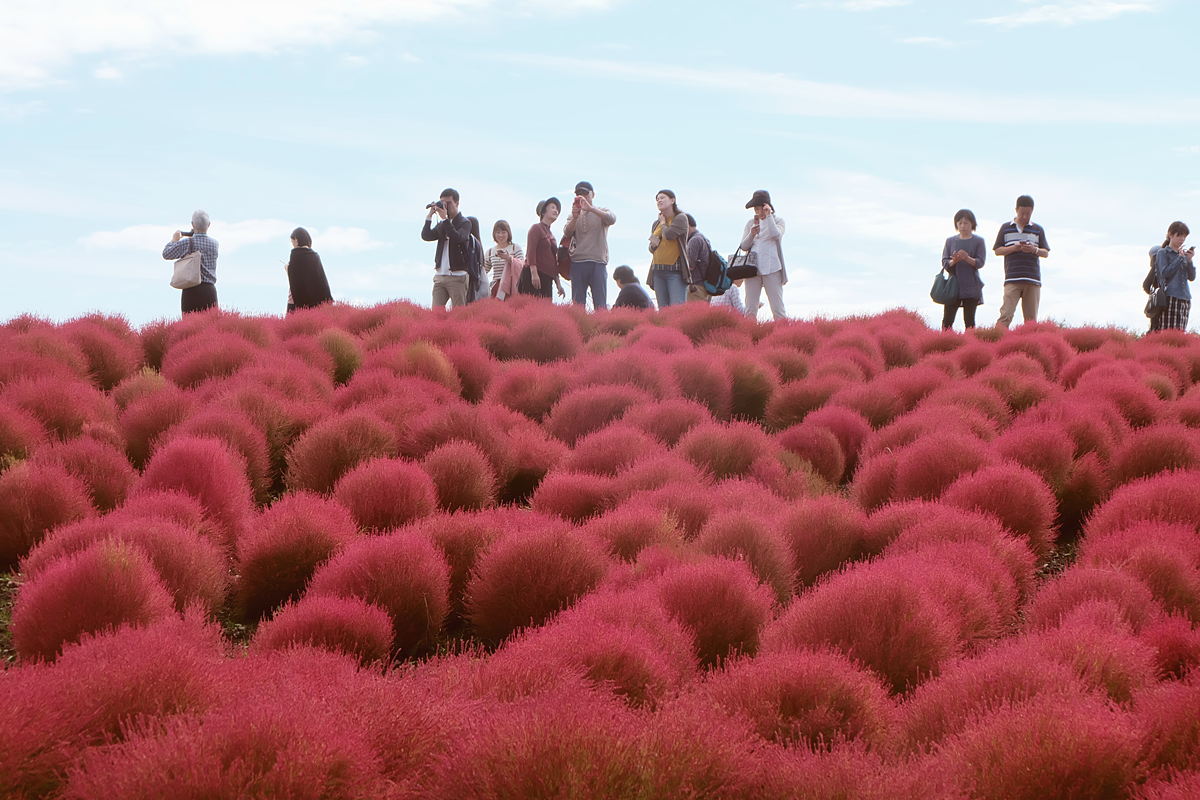 kochia-hitachi-seaside-park-autumn-japan-travel-ibaraki-47