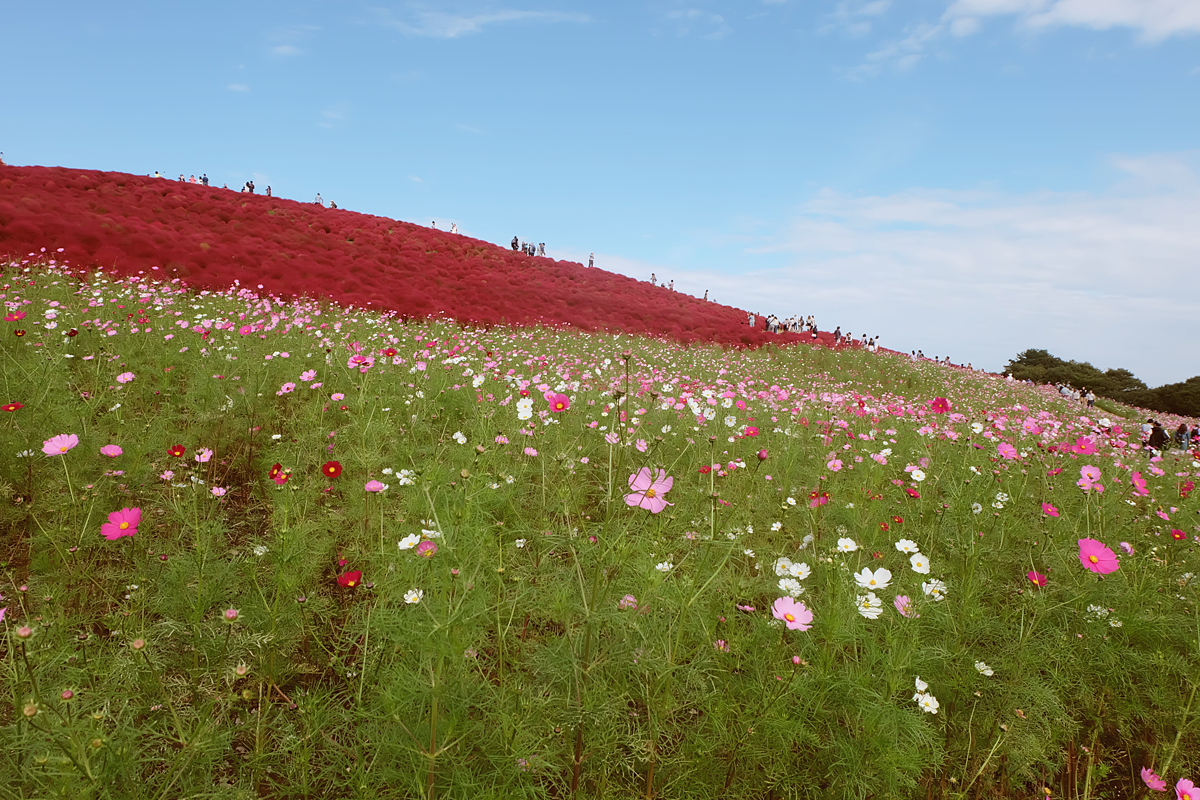 kochia-hitachi-seaside-park-autumn-japan-travel-ibaraki-52