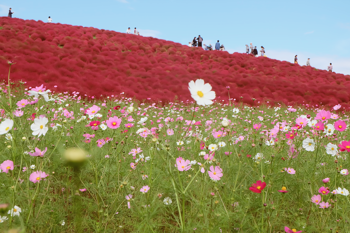 kochia-hitachi-seaside-park-autumn-japan-travel-ibaraki-53