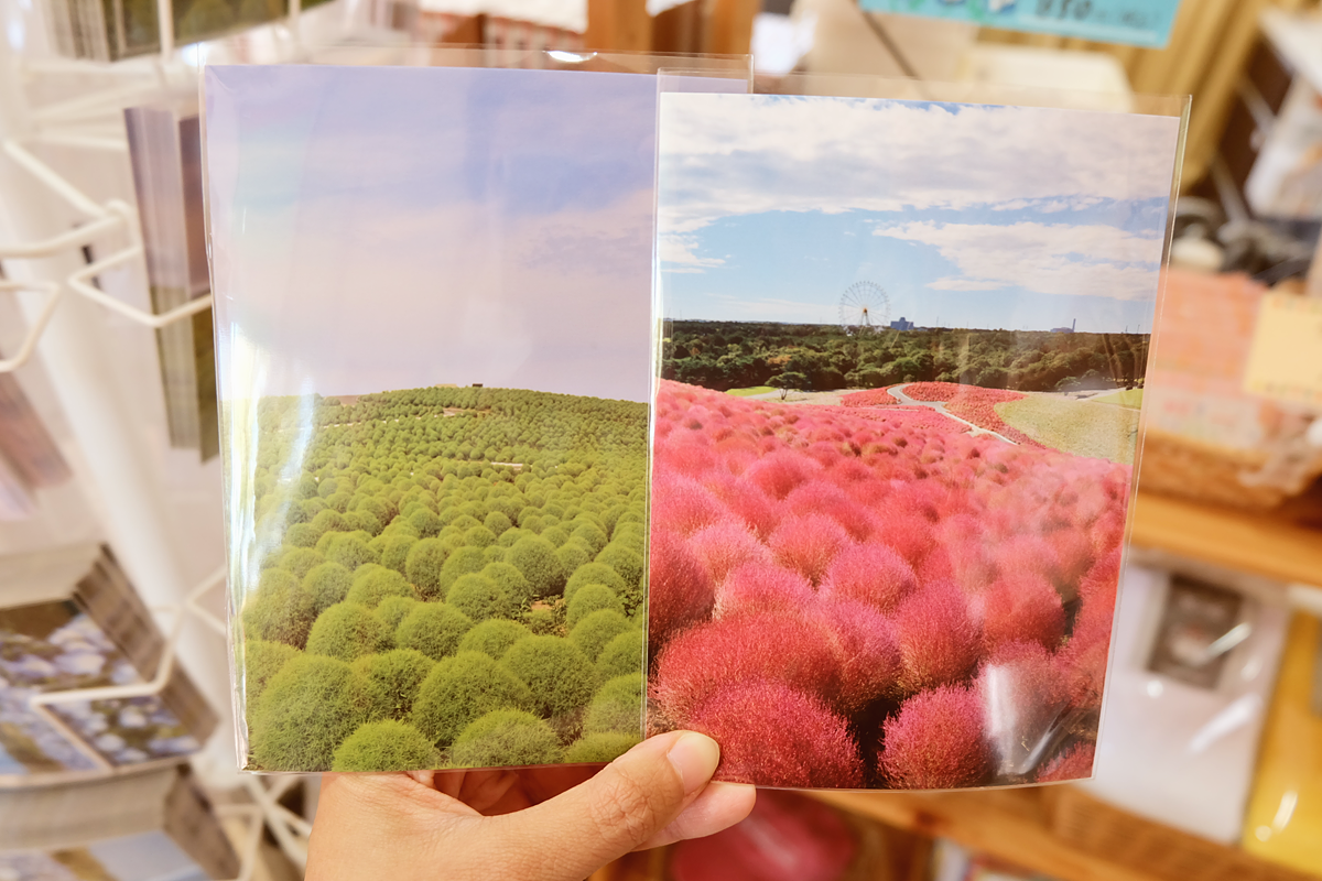 kochia-hitachi-seaside-park-autumn-japan-travel-ibaraki-68