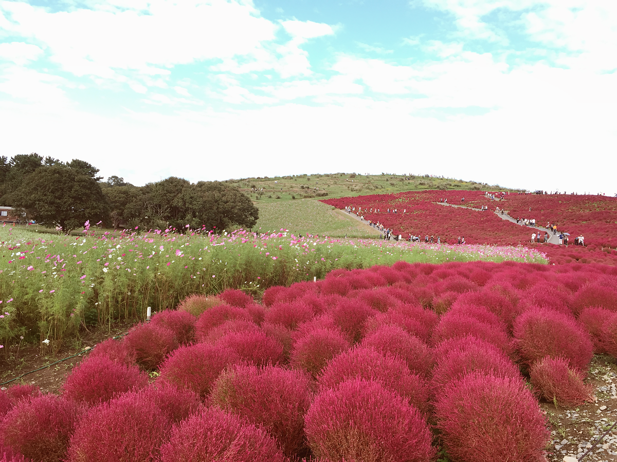 kochia-hitachi-seaside-park-autumn-japan-travel-ibaraki-87