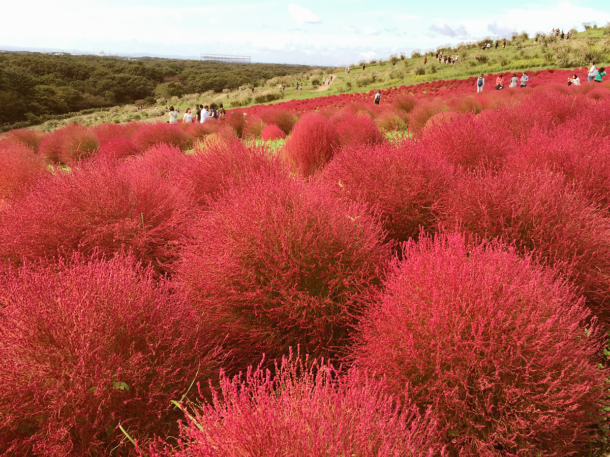 kochia-hitachi-seaside-park-autumn-japan-travel-ibaraki-89