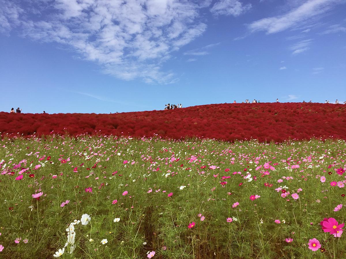 kochia-hitachi-seaside-park-autumn-japan-travel-ibaraki-90