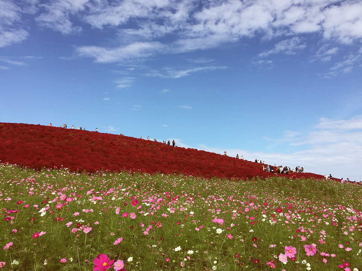 kochia-hitachi-seaside-park-autumn-japan-travel-ibaraki-91