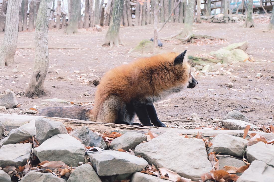 miyagi-zao-fox-village-rainbowholic-10