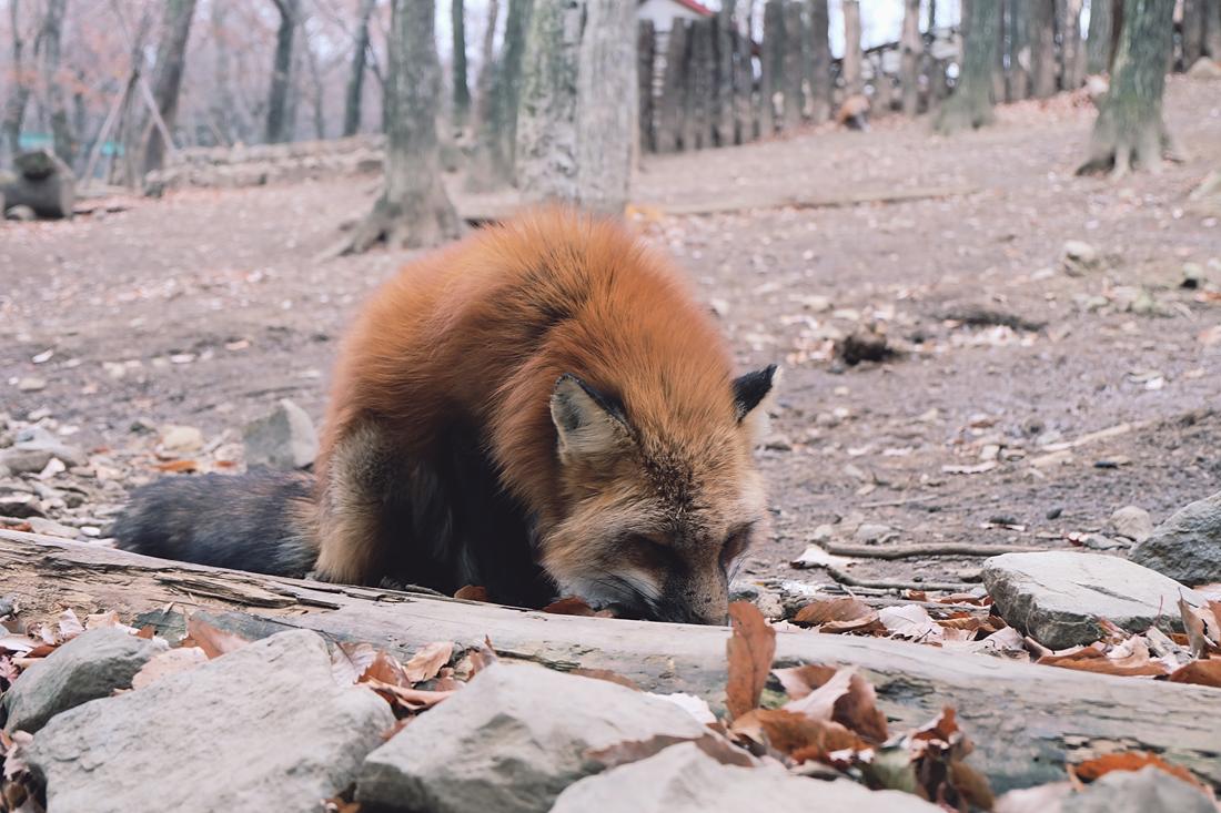 miyagi-zao-fox-village-rainbowholic-11