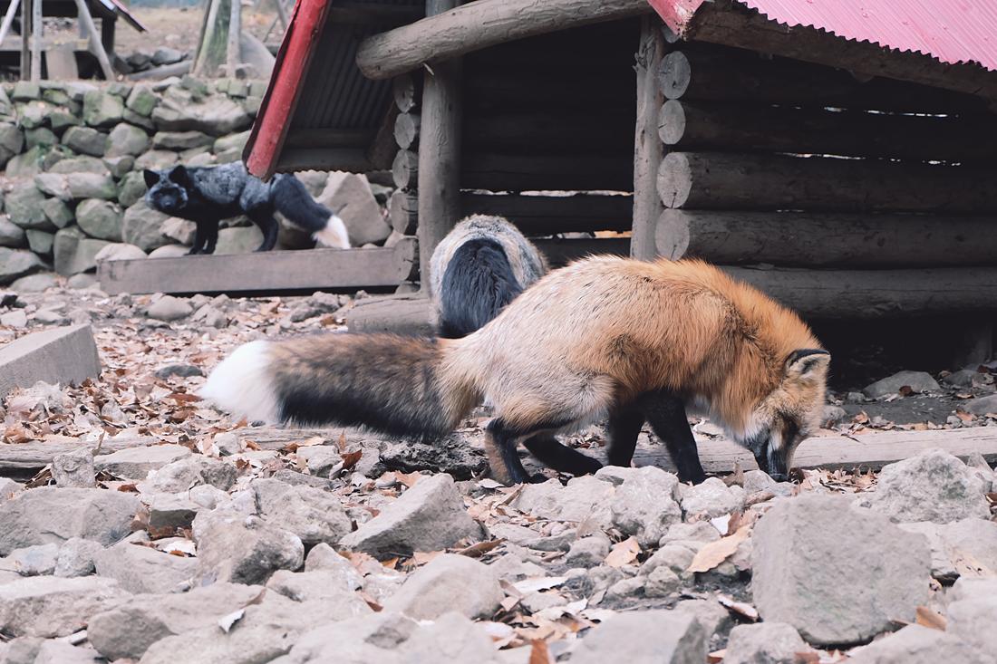 miyagi-zao-fox-village-rainbowholic-15