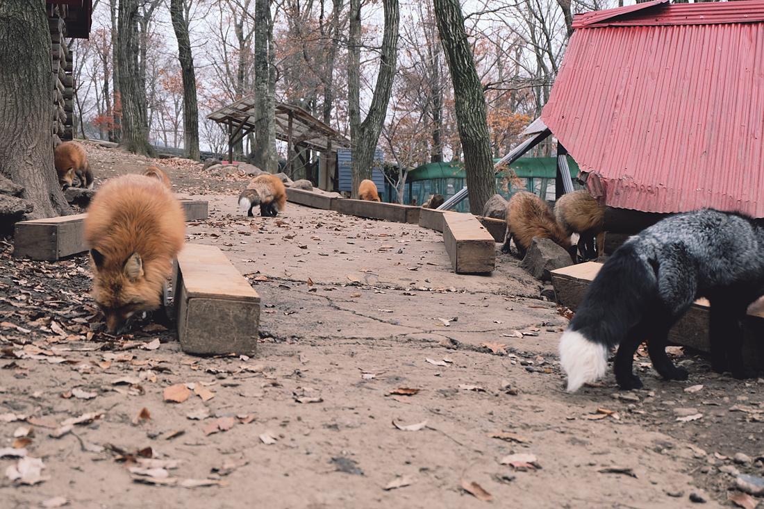 miyagi-zao-fox-village-rainbowholic-18