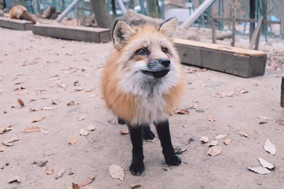 miyagi-zao-fox-village-rainbowholic-19