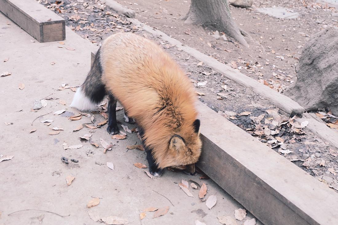miyagi-zao-fox-village-rainbowholic-21