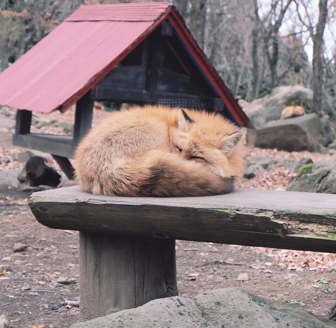 miyagi-zao-fox-village-rainbowholic-26
