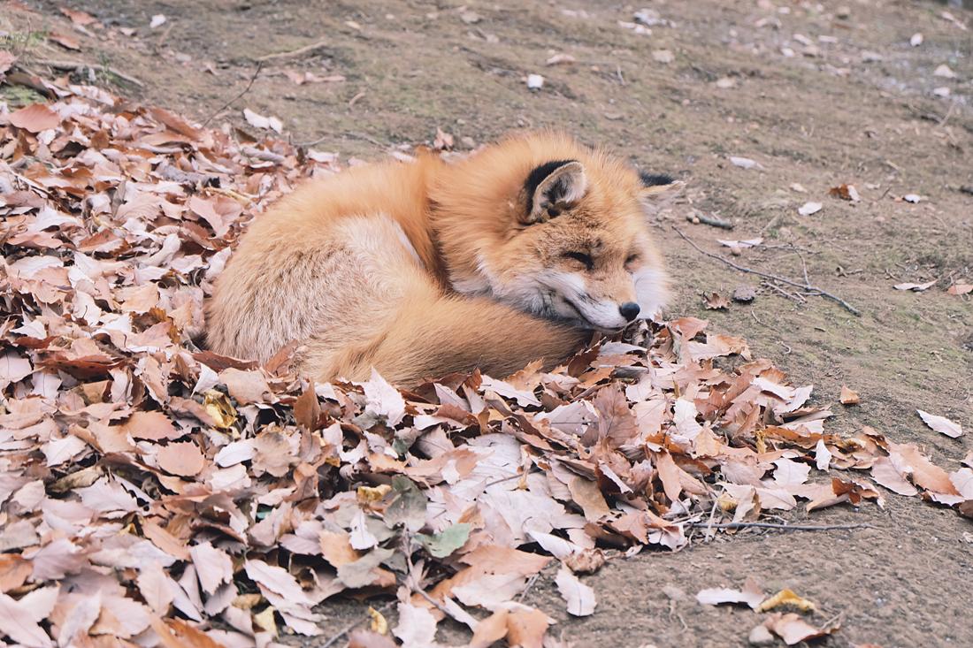 miyagi-zao-fox-village-rainbowholic-29