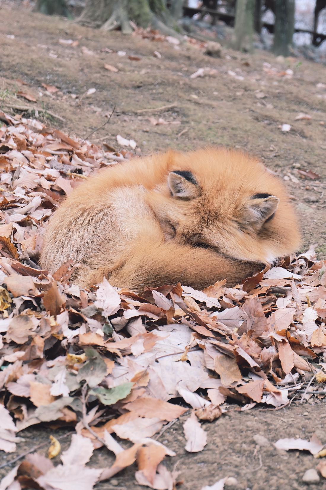 miyagi-zao-fox-village-rainbowholic-31