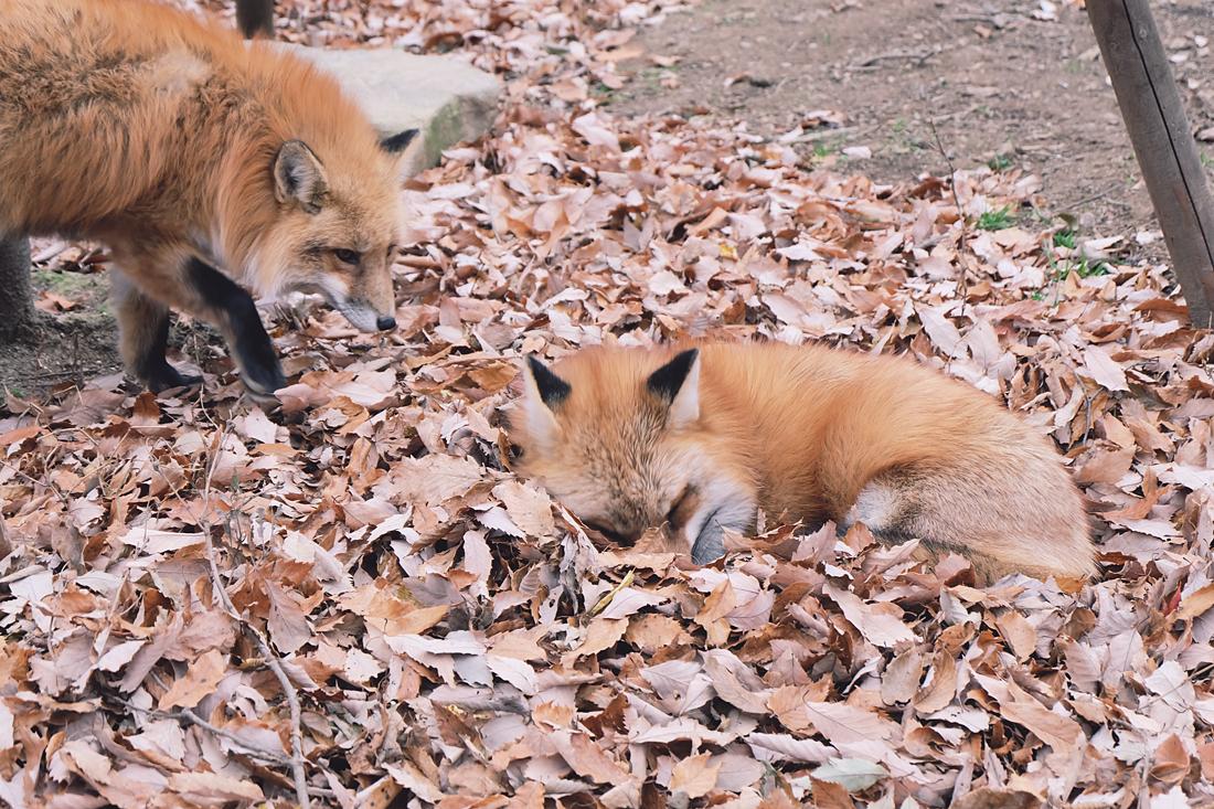 miyagi-zao-fox-village-rainbowholic-34