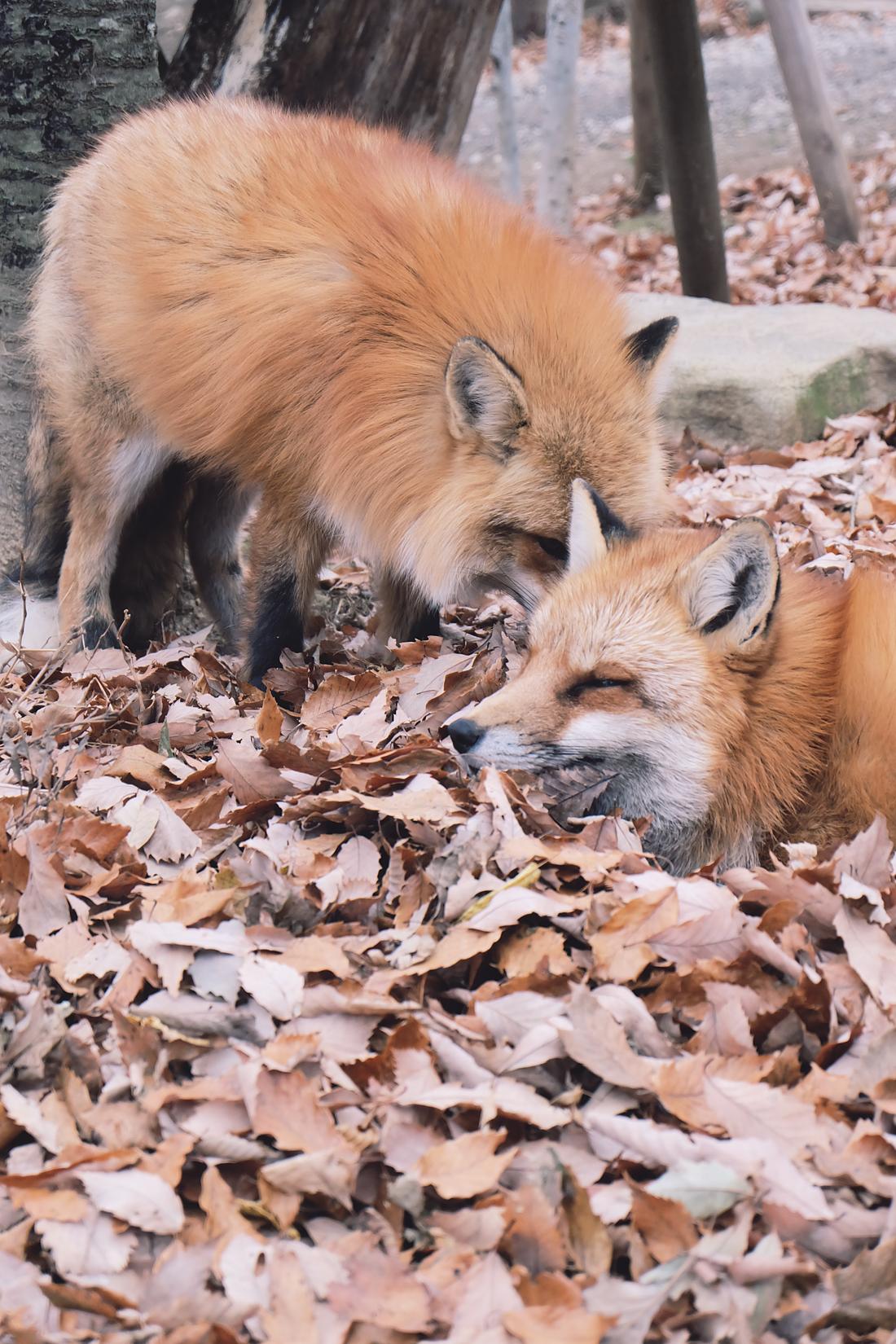 miyagi-zao-fox-village-rainbowholic-36