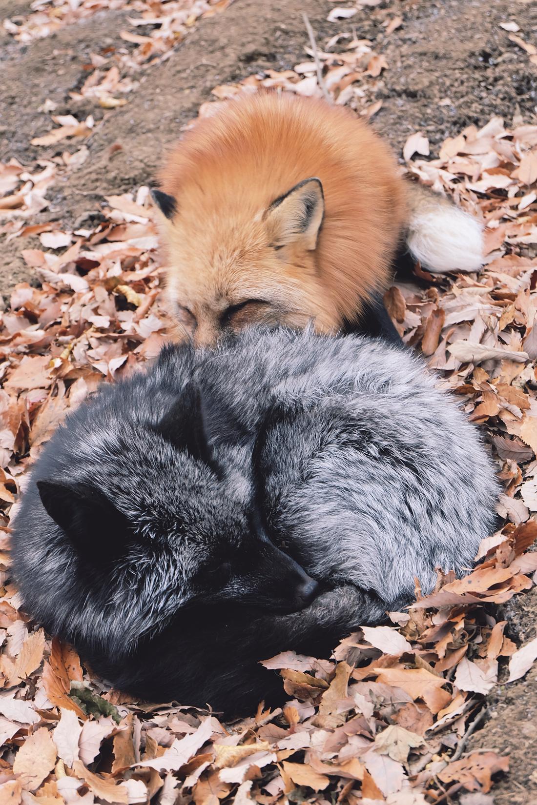 miyagi-zao-fox-village-rainbowholic-38