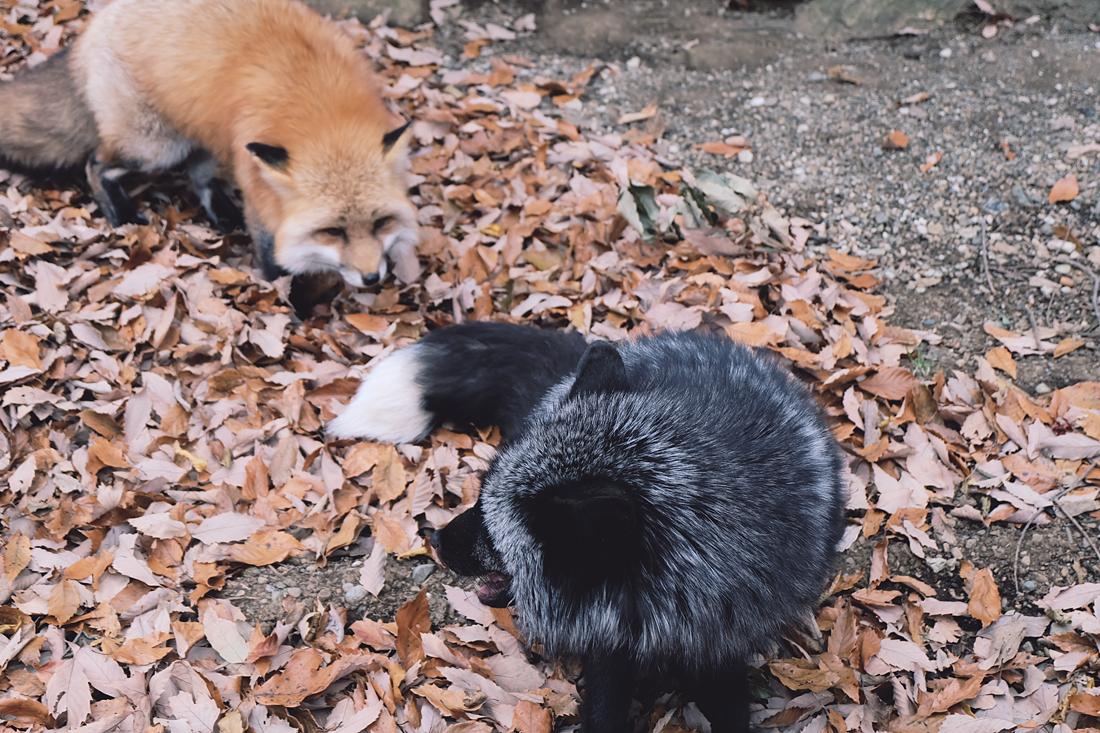 miyagi-zao-fox-village-rainbowholic-45