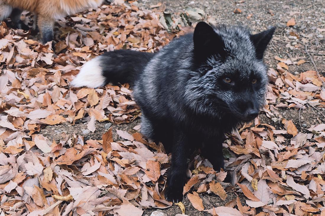 miyagi-zao-fox-village-rainbowholic-46