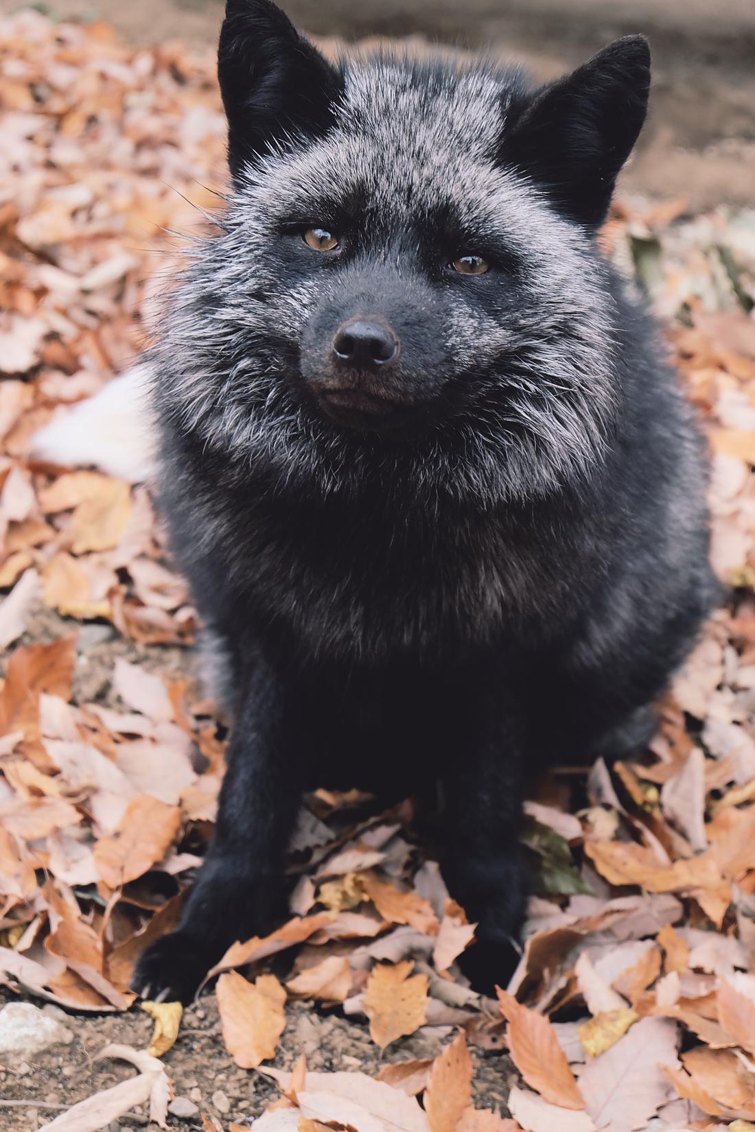 miyagi-zao-fox-village-rainbowholic-47