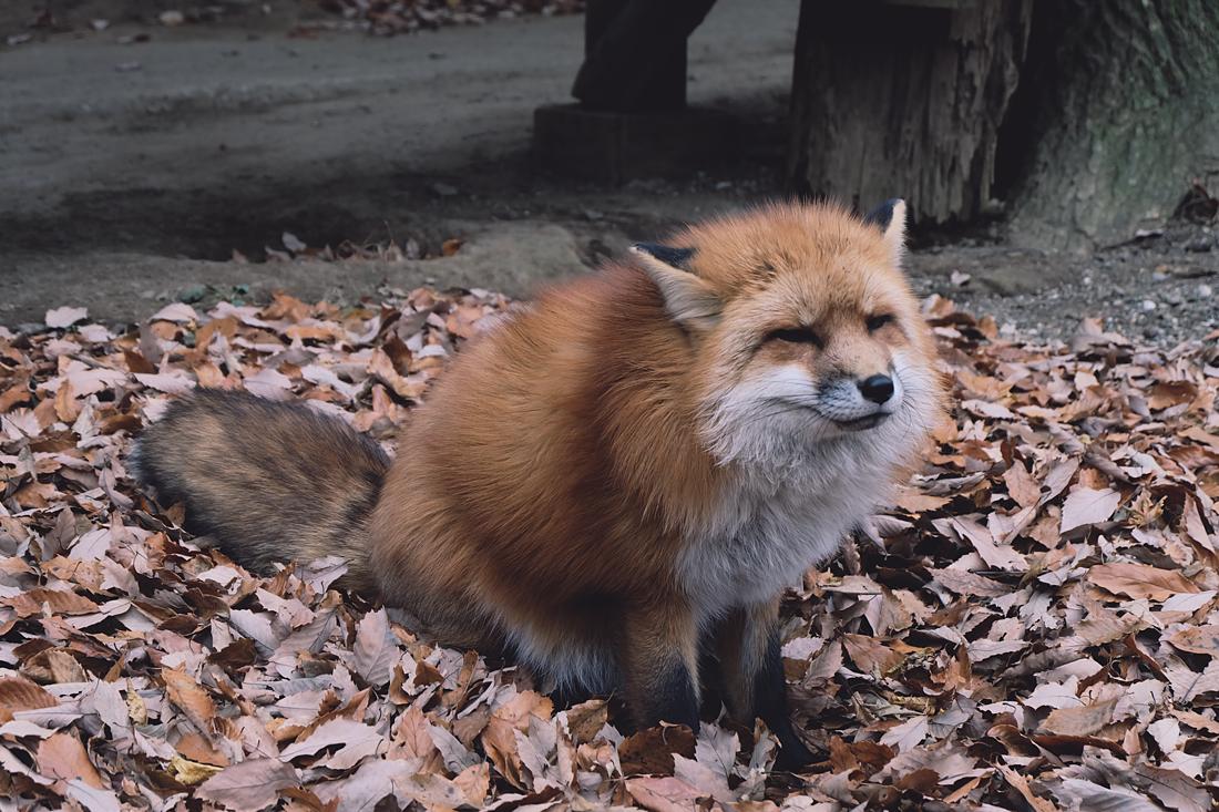 miyagi-zao-fox-village-rainbowholic-49