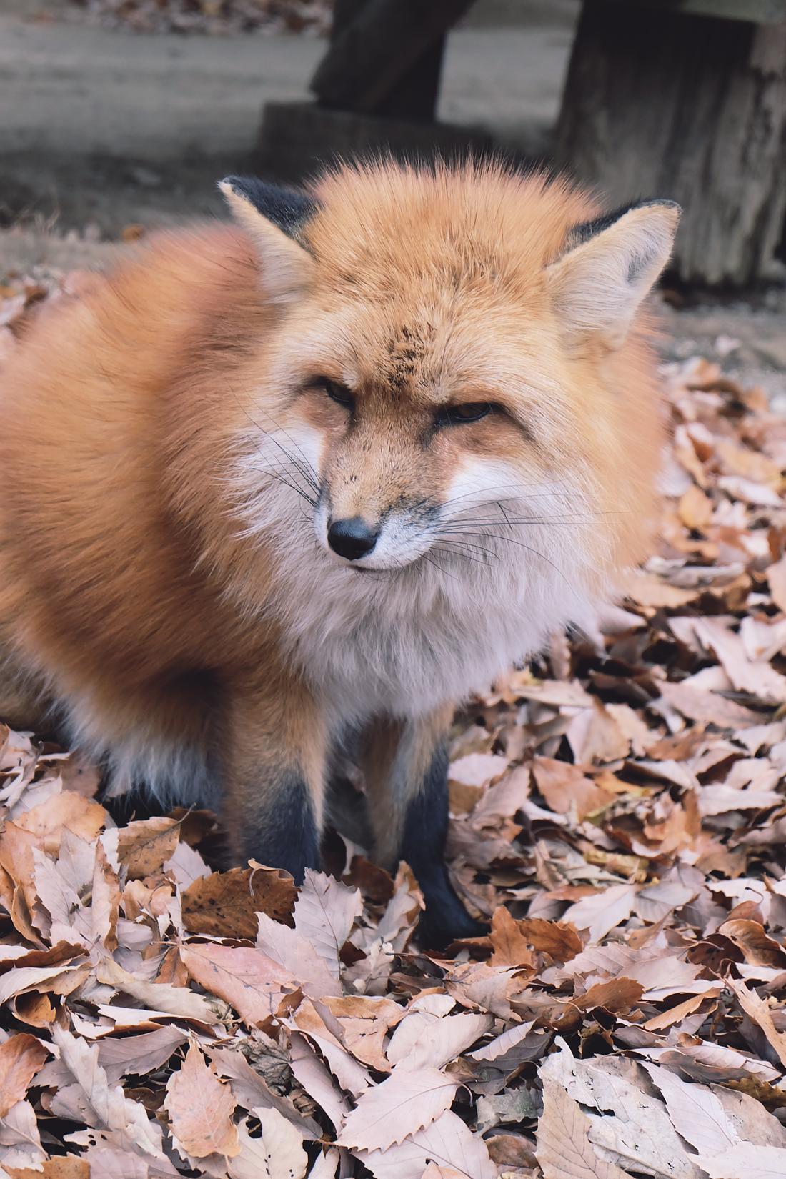 miyagi-zao-fox-village-rainbowholic-51