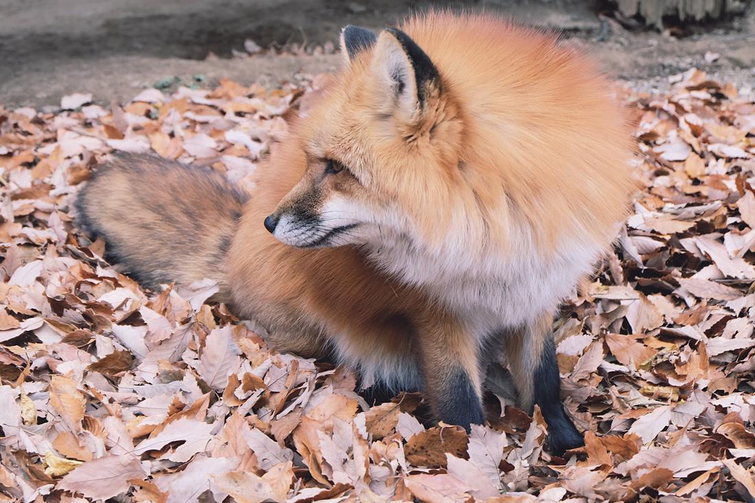 miyagi-zao-fox-village-rainbowholic-52