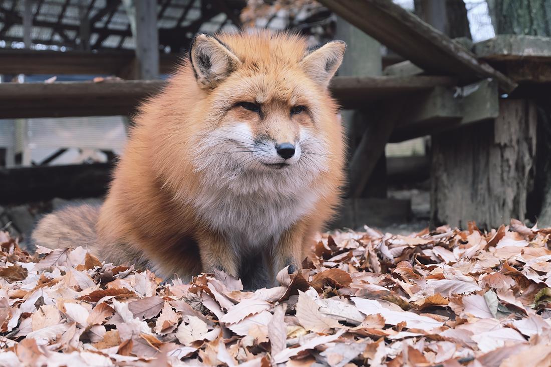 miyagi-zao-fox-village-rainbowholic-53