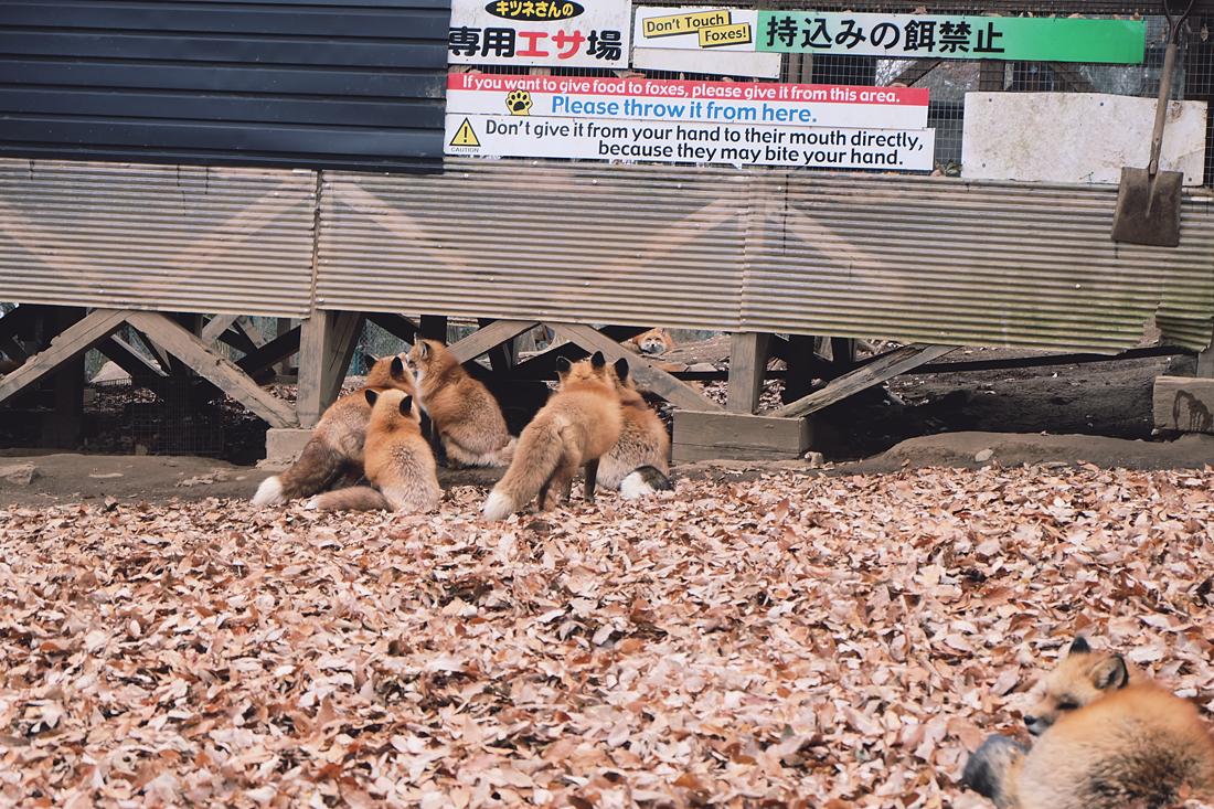 miyagi-zao-fox-village-rainbowholic-54