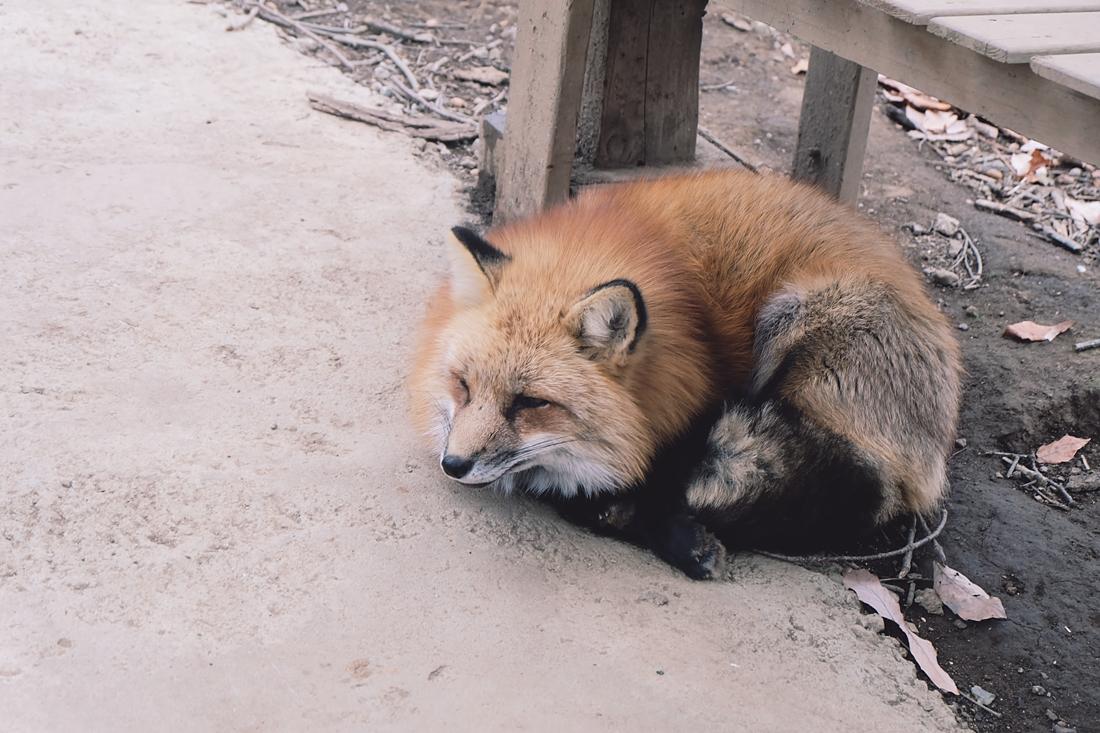 miyagi-zao-fox-village-rainbowholic-56