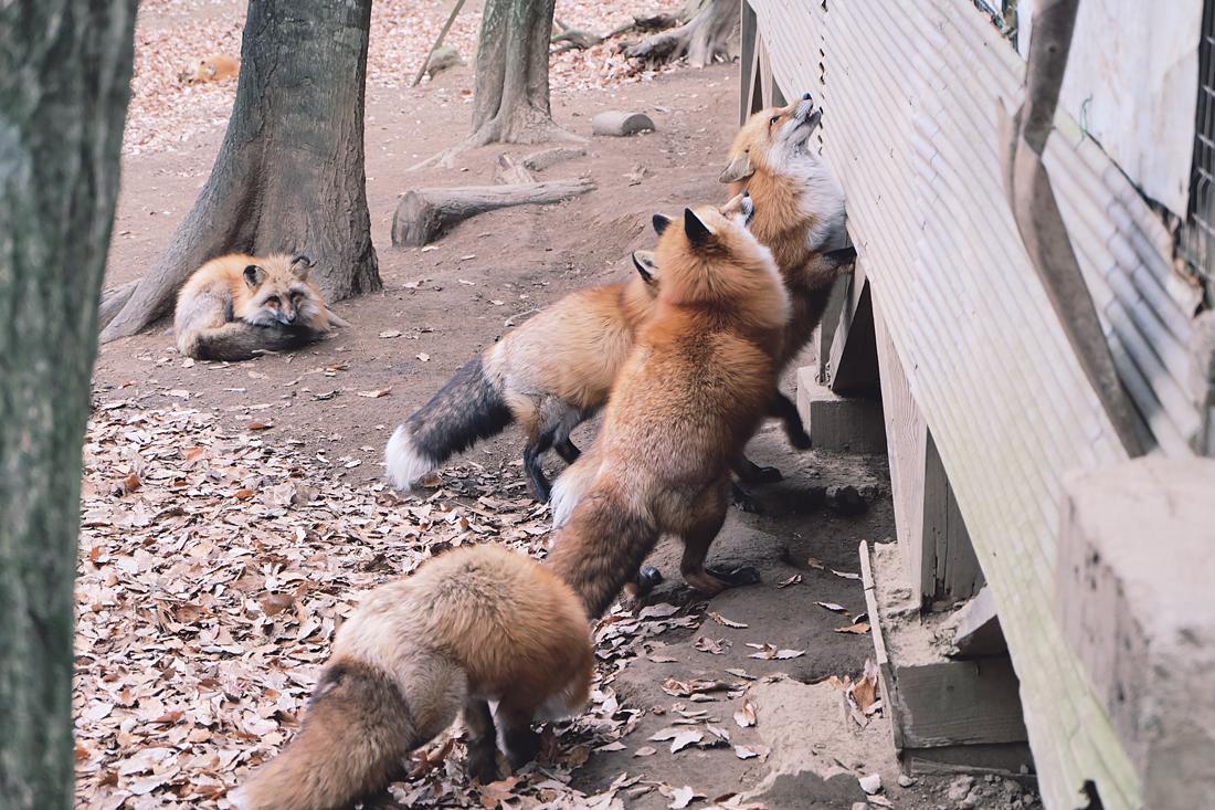 miyagi-zao-fox-village-rainbowholic-57
