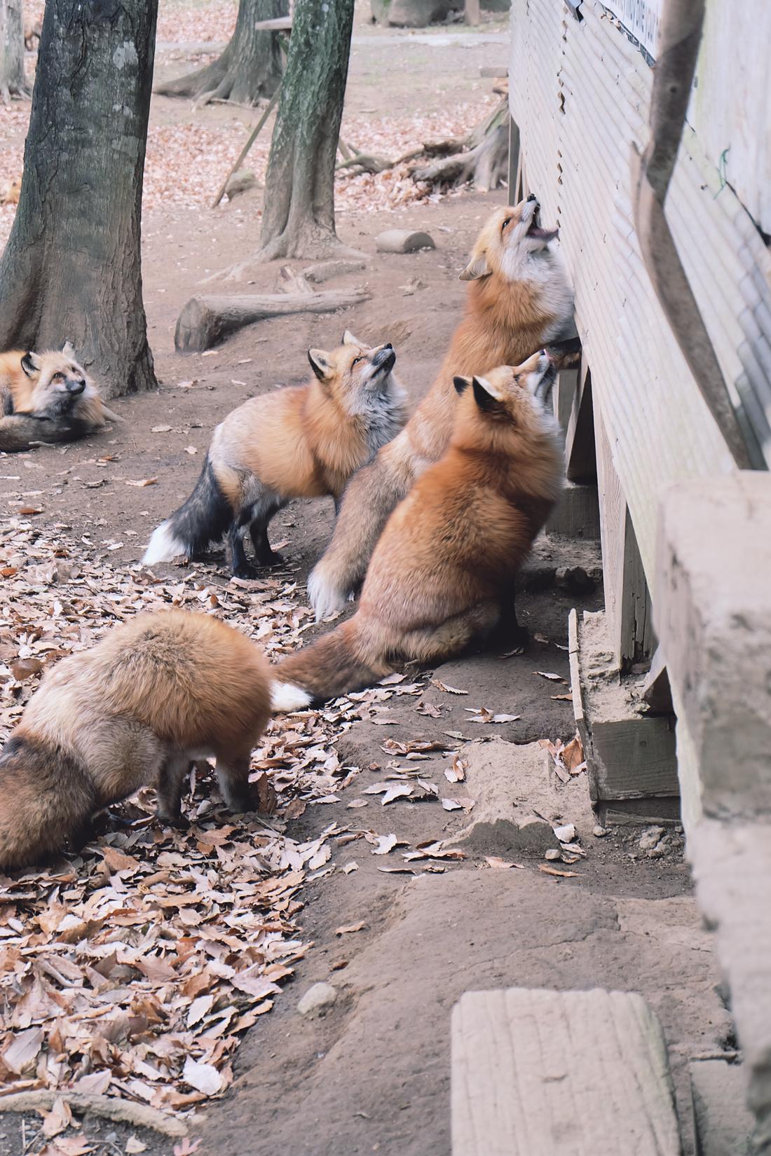 miyagi-zao-fox-village-rainbowholic-58