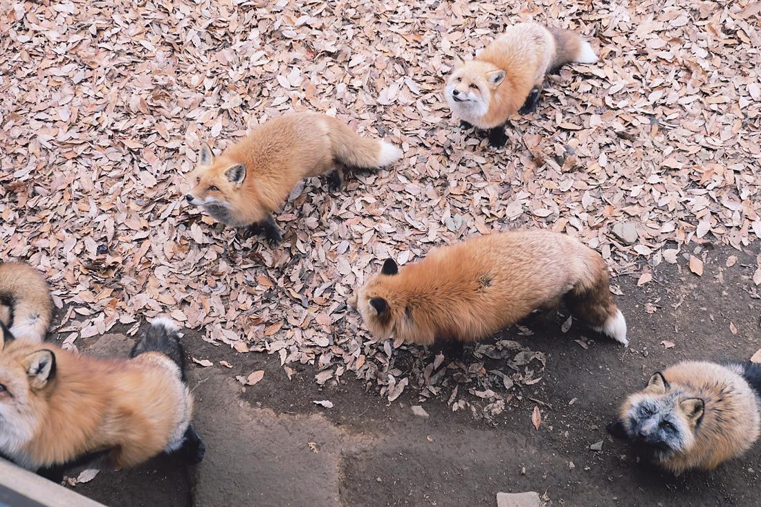 miyagi-zao-fox-village-rainbowholic-63